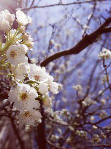cherry tree, white, flowers, sky, spring